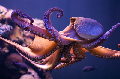 осьминог фото