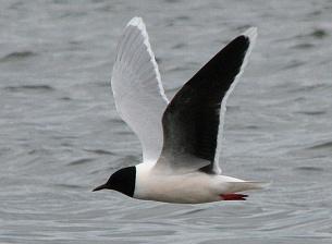 малая чайка фото