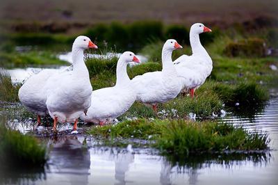 белый гусь птица фото