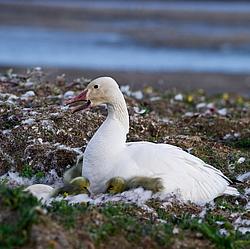 птица белый гусь фото