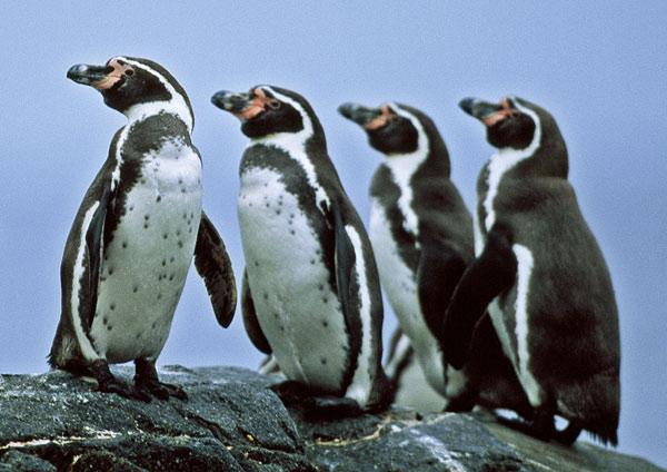 очковый пингвин фото