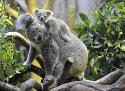 коалы фото