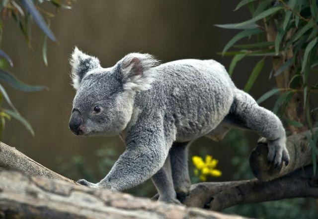 коала фото