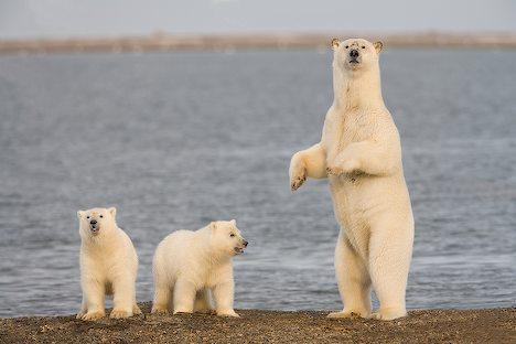 белые медведи фото