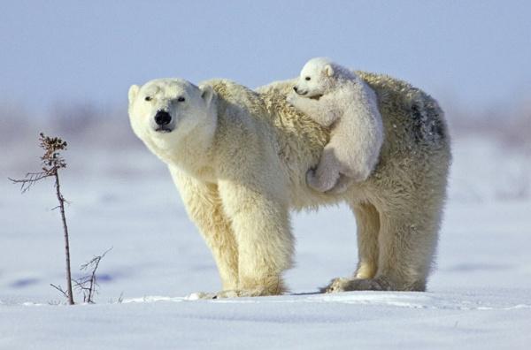 белый медведь с медвежонком фото