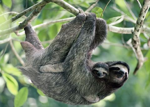ленивцы животные фото