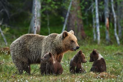 бурые медведи фото