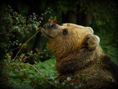 медведь бурый фото