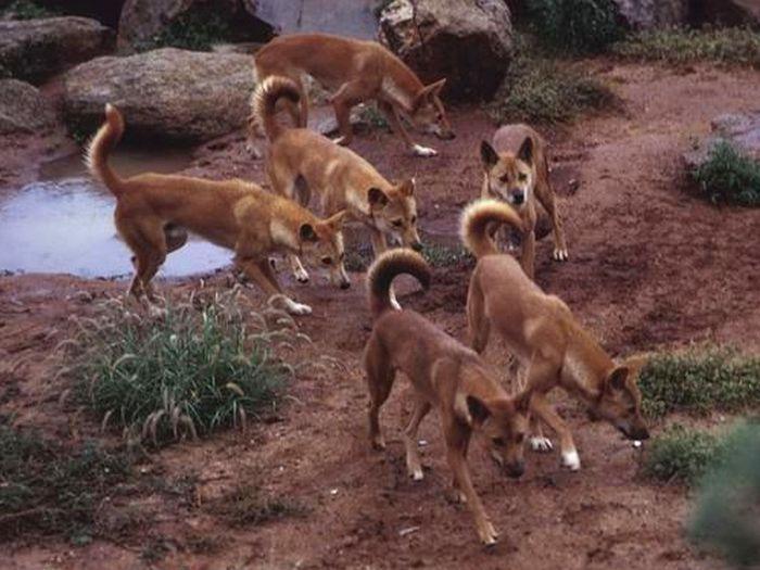 дикие собаки динго фото
