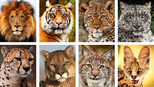 семейство кошачьих фото