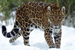 кошка ягуар фото