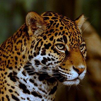 ягуар фото
