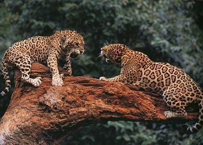 ягуары фото