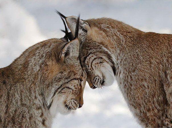 рыси кошки фото