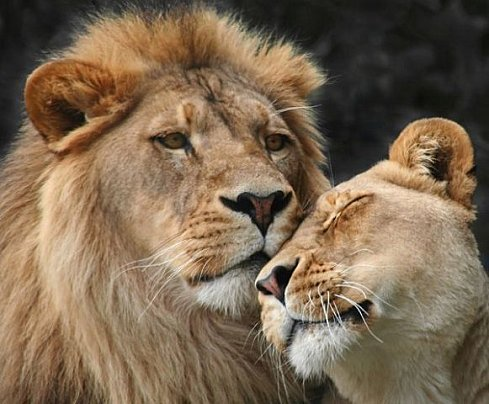 львы фото