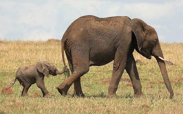 слон с детенышем фото