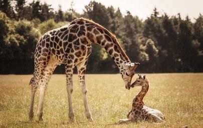 жираф с детенышем фото