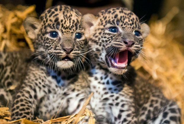маленькие леопардики фото