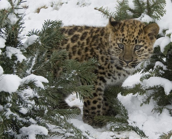 детеныш леопарда фото