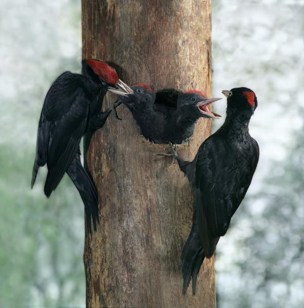 черные дятлы и птенцы фото