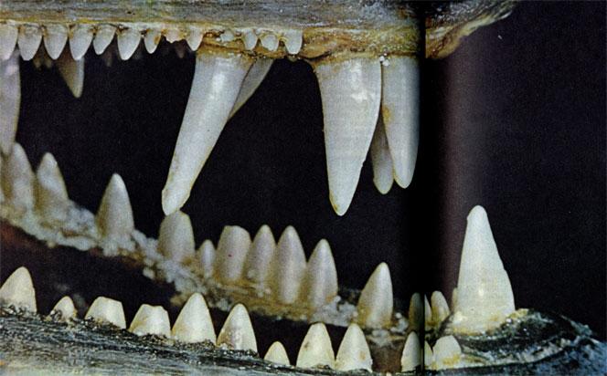 барракуда рыба фото