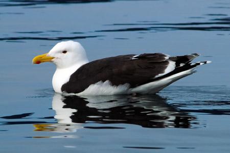 морская чайка фото