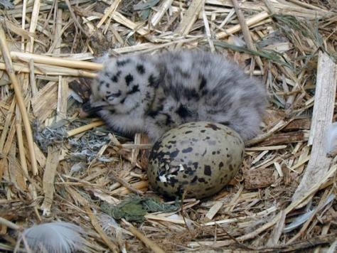 гнездо морской чайки фото