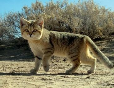 барханный кот фото