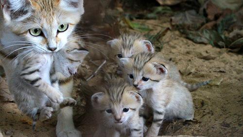 барханный кот с котятами фото