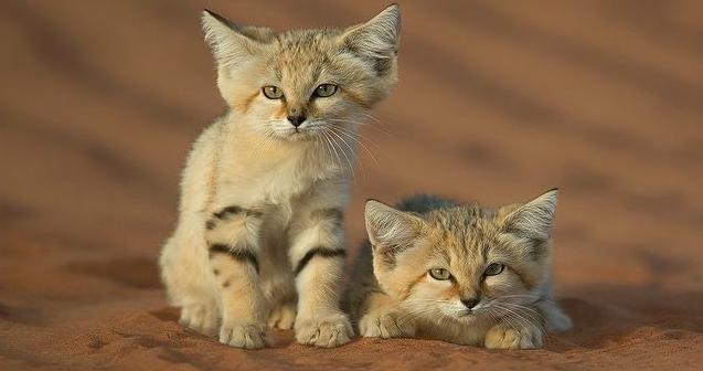 котята барханного кота фото