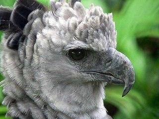 гарпия птица фото
