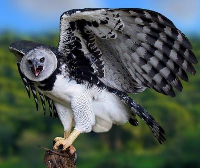 птица гарпия фото