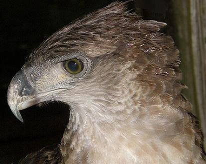 новогвинейская гарпия фото