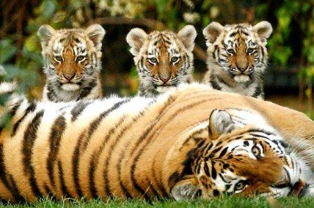 тигрица с детенышами фото