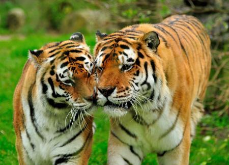 амурские тигры фото