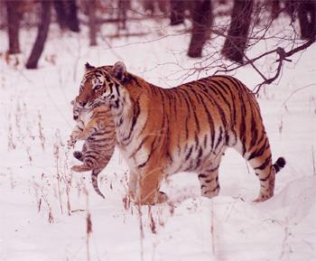 тигрица с детенышем фото