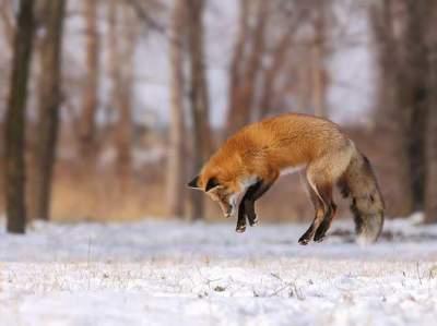 лисица на охоте фото
