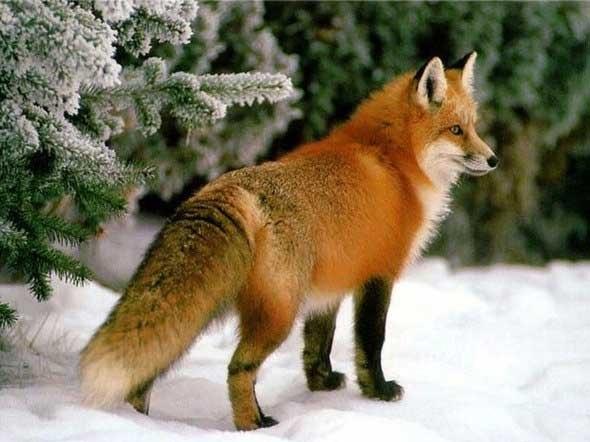лисица обыкновенная фото