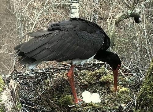 гнездо черного аиста фото