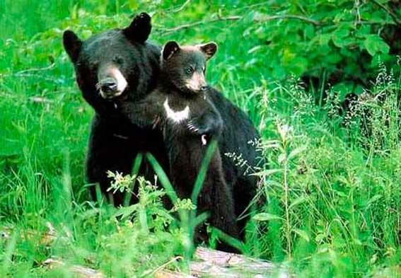 гималайский медведь фото