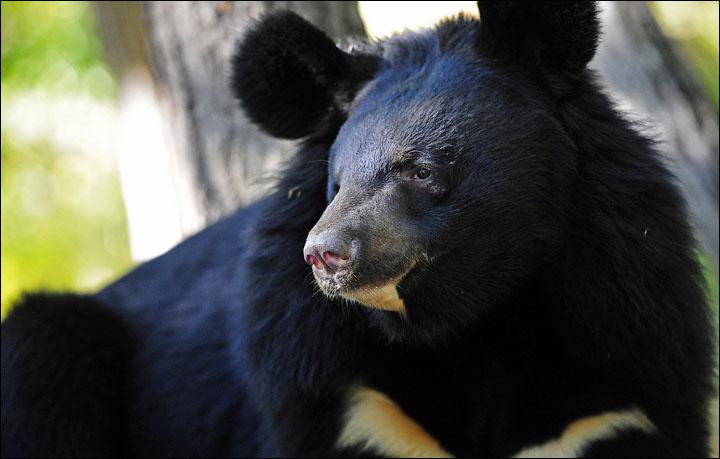гималайский (черный) медведь фото
