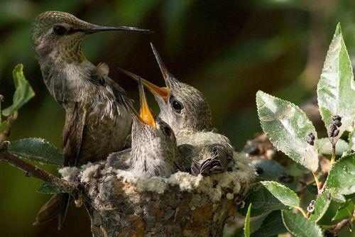колибри с птенцами фото