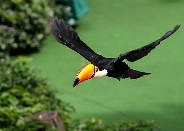 летящий тукан фото