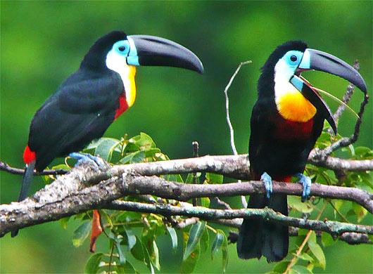 туканы птицы фото