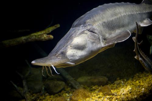 рыба калуга фото