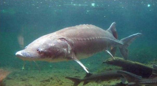 калуга рыба фото