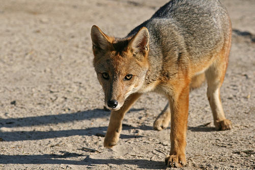 андская лисица фото