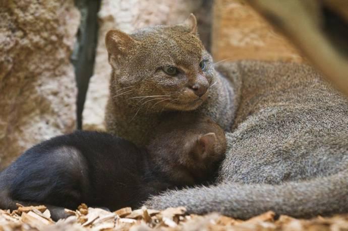 Ягуарунди с котенком фото