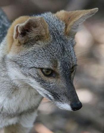 южноамериканская лисица фото