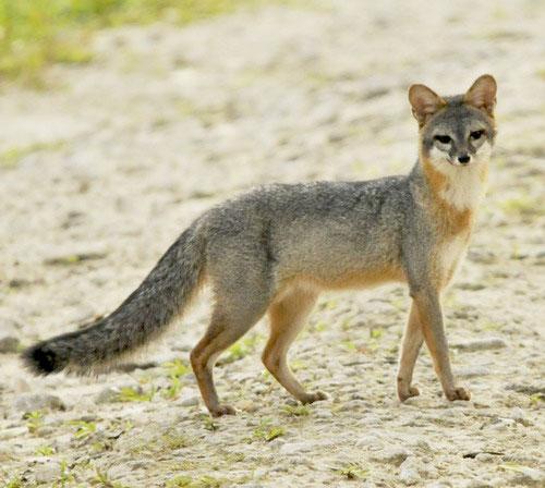Парагвайская лисица фото
